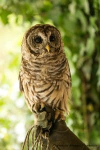 Barred Owl at the Pequotsepos Nature Center